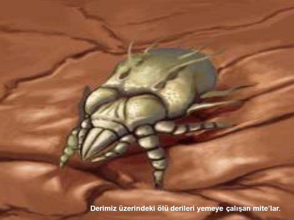 Derimiz üzerindeki ölü derileri yemeye çalışan mite'lar.