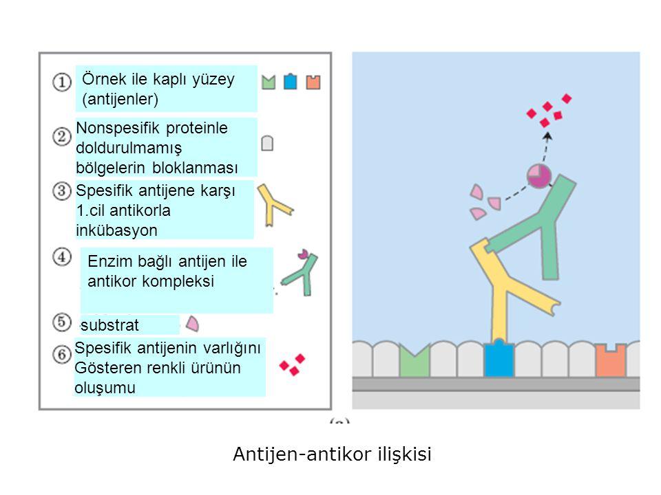 Antijen-antikor ilişkisi Örnek ile kaplı yüzey (antijenler) Nonspesifik proteinle doldurulmamış bölgelerin bloklanması Spesifik antijene karşı 1.cil a