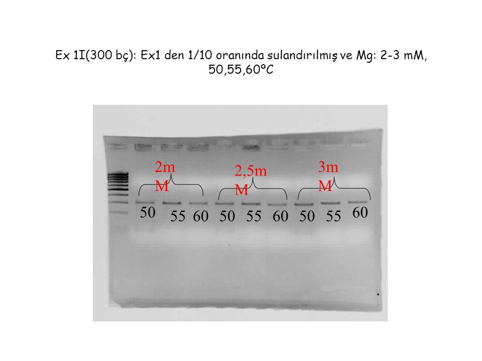 Ex 1I(300 bç): Ex1 den 1/10 oranında sulandırılmış ve Mg: 2-3 mM, 50,55,60ºC 50 55605055 60 5560 2m M 2,5m M 3m M