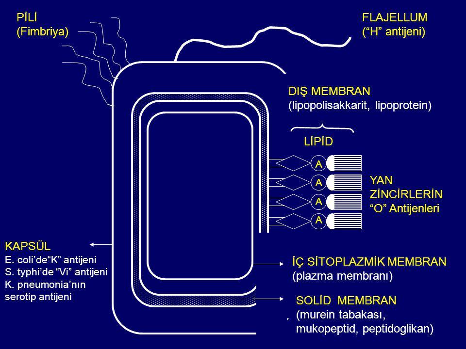KAPSÜL E.coli'de K antijeni S. typhi'de Vi antijeni K.