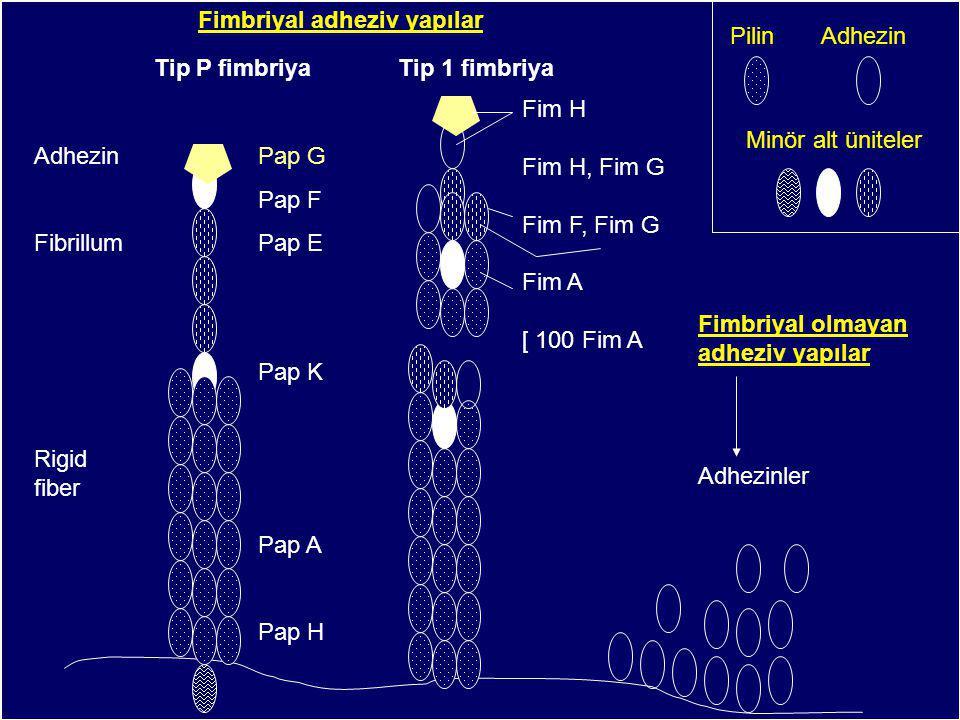 Pap G Pap F Pap E Pap K Pap A Pap H Adhezin Fibrillum Rigid fiber Fim H Fim H, Fim G Fim F, Fim G Fim A [ 100 Fim A Minör alt üniteler Pilin Adhezin Tip P fimbriya Tip 1 fimbriya Adhezinler Fimbriyal olmayan adheziv yapılar Fimbriyal adheziv yapılar