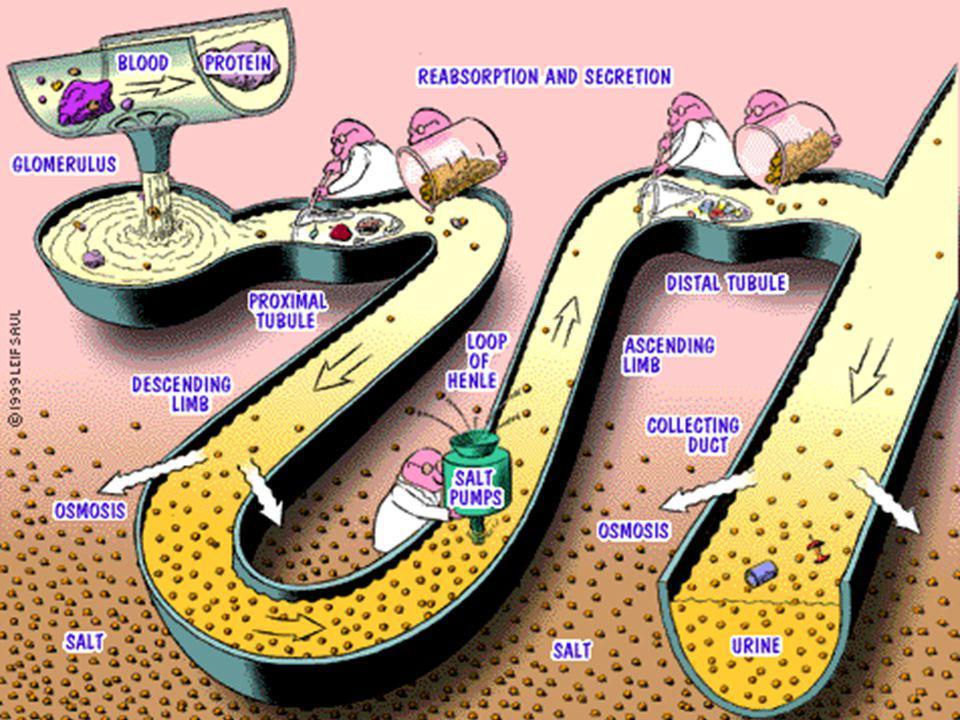 P pili: pap piyelonefrit ilişkili pili Globobiose = a -D-Gal-(1,4)- b -D-Gal Globobiose seramid lipidde ( glikolipid) bulunur.