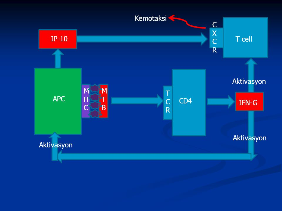 MHCMHC MTBMTB TCRTCR APC CD4 T cell CXCRCXCR IP-10 IFN-G Kemotaksi Aktivasyon