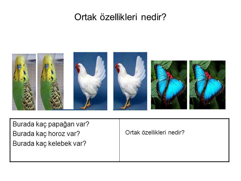 Ortak özellikleri nedir.Burada kaç papağan var. Burada kaç horoz var.