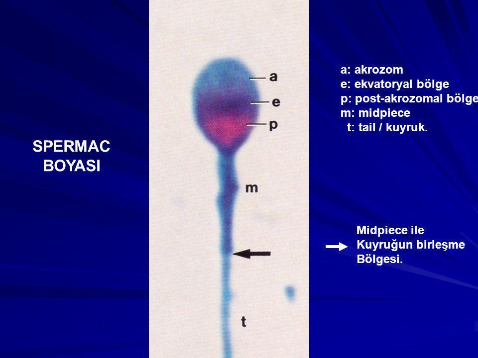 SPERMAC BOYASI a: akrozom e: ekvatoryal bölge p: post-akrozomal bölge m: midpiece t: tail / kuyruk. Midpiece ile Kuyruğun birleşme Bölgesi.
