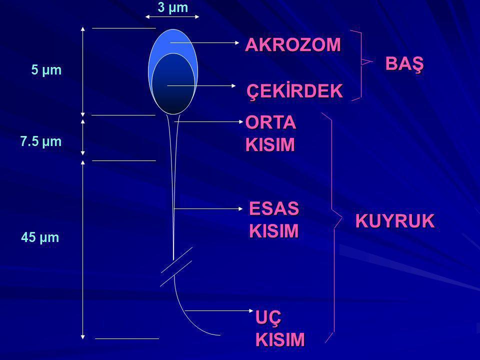 AKROZOM ÇEKİRDEK ORTAKISIM ESASKISIM UÇKISIM KUYRUK 5 µm 45 µm 7.5 µm 3 µm BAŞ