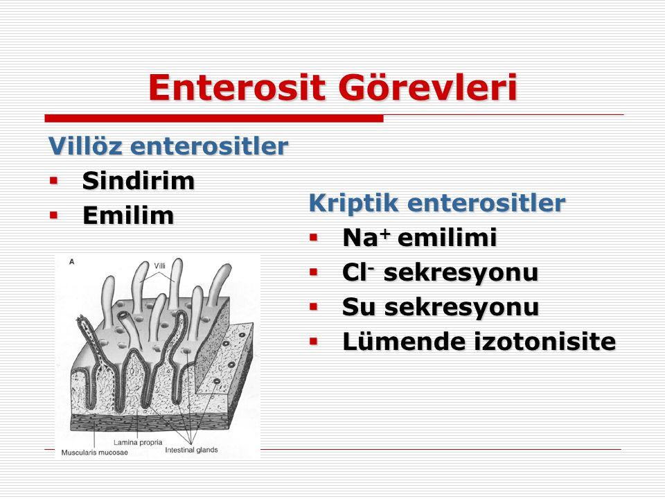 Enterosit Görevleri Villöz enterositler  Sindirim  Emilim Kriptik enterositler  Na + emilimi  Cl - sekresyonu  Su sekresyonu  Lümende izotonisit