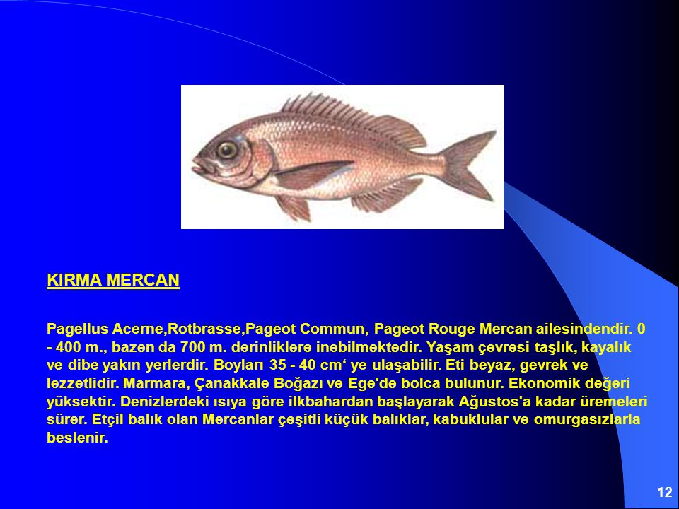 12 KIRMA MERCAN Pagellus Acerne,Rotbrasse,Pageot Commun, Pageot Rouge Mercan ailesindendir. 0 - 400 m., bazen da 700 m. derinliklere inebilmektedir. Y