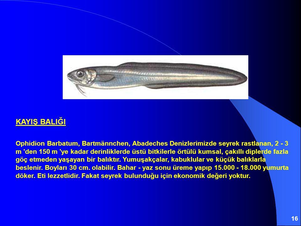 16 KAYIŞ BALIĞI Ophidion Barbatum, Bartmännchen, Abadeches Denizlerimizde seyrek rastlanan, 2 - 3 m den 150 m ye kadar derinliklerde üstü bitkilerle örtülü kumsal, çakıllı diplerde fazla göç etmeden yaşayan bir balıktır.