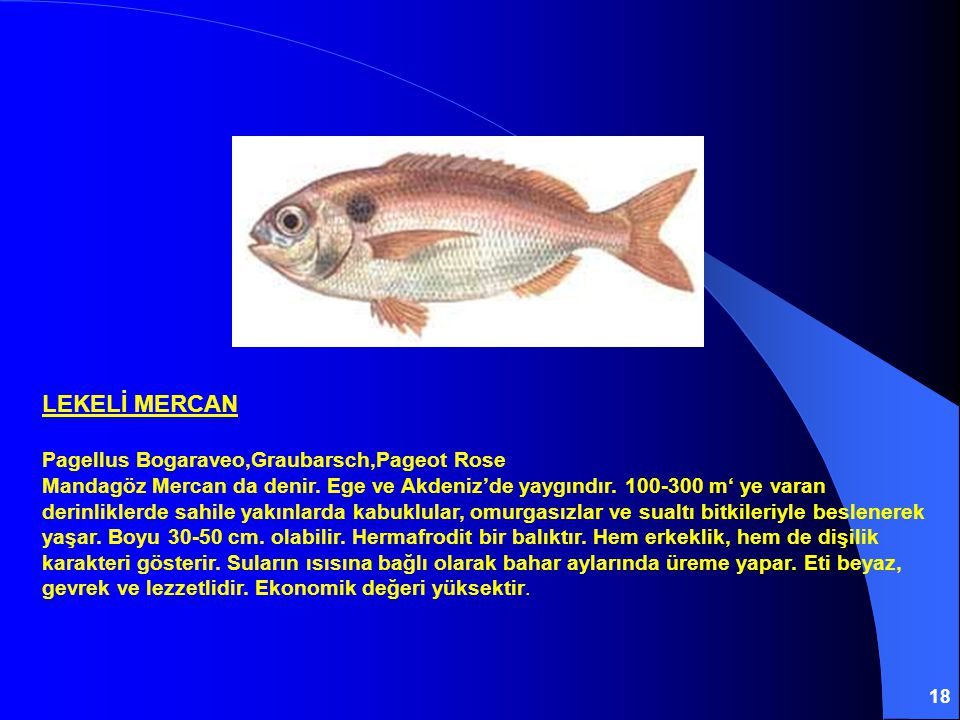 18 LEKELİ MERCAN Pagellus Bogaraveo,Graubarsch,Pageot Rose Mandagöz Mercan da denir. Ege ve Akdeniz'de yaygındır. 100-300 m' ye varan derinliklerde sa