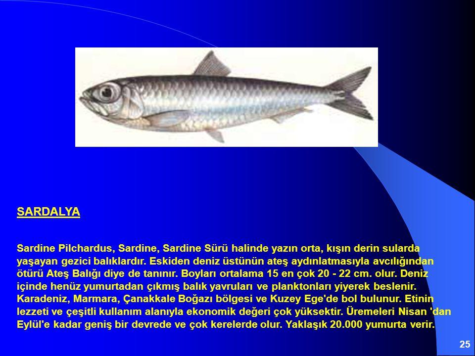25 SARDALYA Sardine Pilchardus, Sardine, Sardine Sürü halinde yazın orta, kışın derin sularda yaşayan gezici balıklardır. Eskiden deniz üstünün ateş a