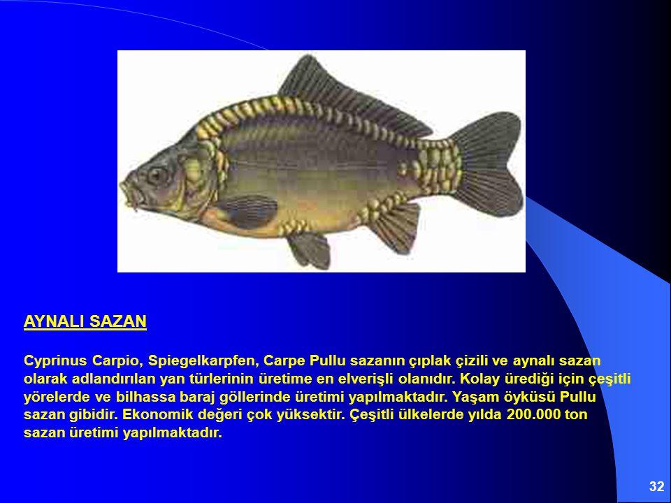 32 AYNALI SAZAN Cyprinus Carpio, Spiegelkarpfen, Carpe Pullu sazanın çıplak çizili ve aynalı sazan olarak adlandırılan yan türlerinin üretime en elverişli olanıdır.
