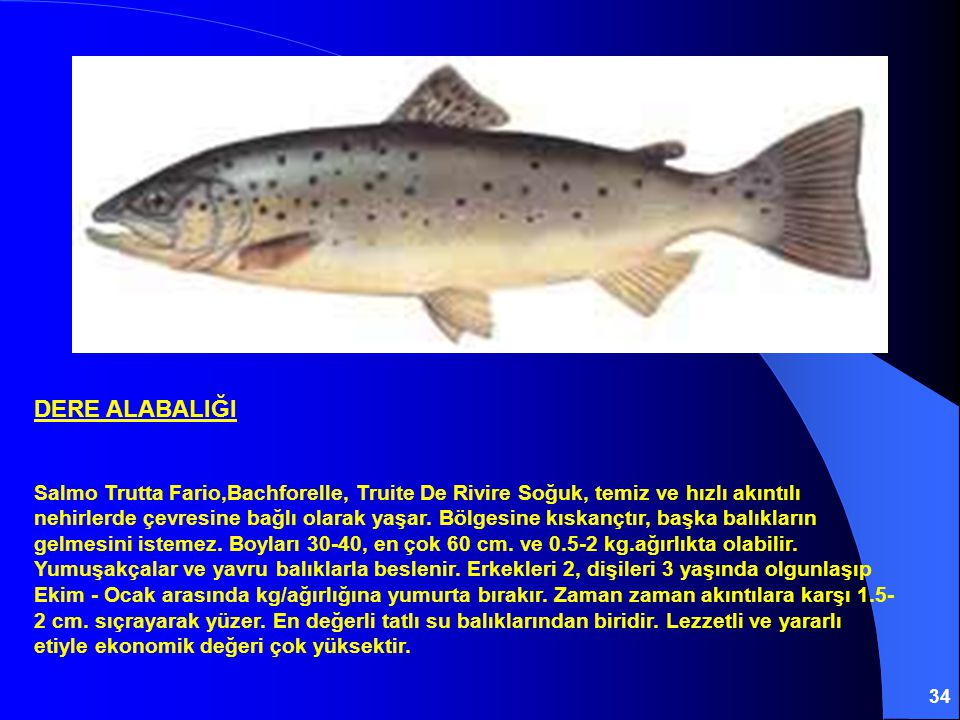 34 DERE ALABALIĞI Salmo Trutta Fario,Bachforelle, Truite De Rivire Soğuk, temiz ve hızlı akıntılı nehirlerde çevresine bağlı olarak yaşar. Bölgesine k