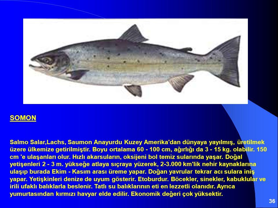 36 SOMON Salmo Salar,Lachs, Saumon Anayurdu Kuzey Amerika'dan dünyaya yayılmış, üretilmek üzere ülkemize getirilmiştir. Boyu ortalama 60 - 100 cm, ağı