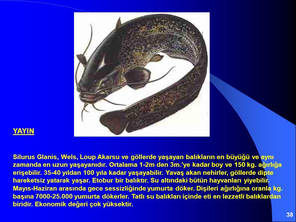 38 YAYIN Silurus Glanis, Wels, Loup Akarsu ve göllerde yaşayan balıkların en büyüğü ve aynı zamanda en uzun yaşayanıdır.