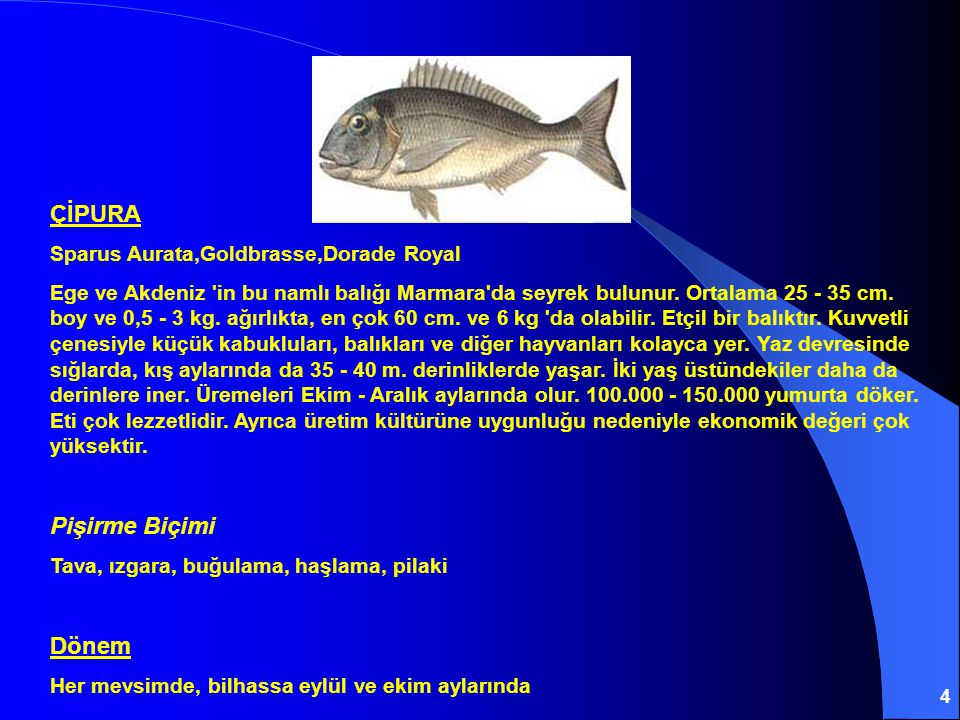 4 ÇİPURA Sparus Aurata,Goldbrasse,Dorade Royal Ege ve Akdeniz 'in bu namlı balığı Marmara'da seyrek bulunur. Ortalama 25 - 35 cm. boy ve 0,5 - 3 kg. a