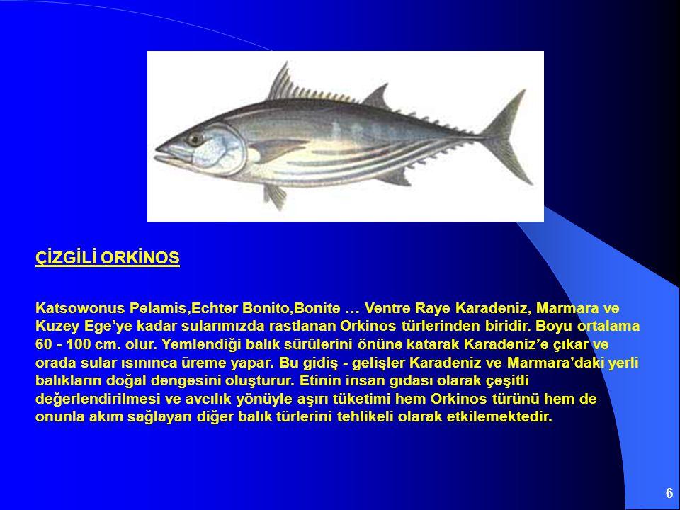 6 ÇİZGİLİ ORKİNOS Katsowonus Pelamis,Echter Bonito,Bonite … Ventre Raye Karadeniz, Marmara ve Kuzey Ege'ye kadar sularımızda rastlanan Orkinos türlerinden biridir.