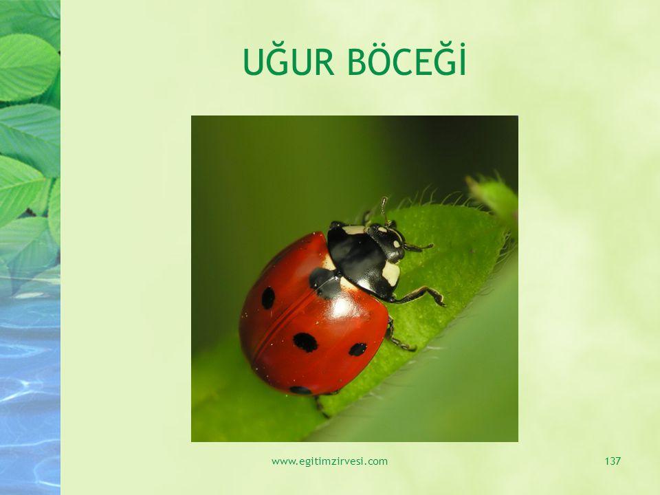 UĞUR BÖCEĞİ www.egitimzirvesi.com137