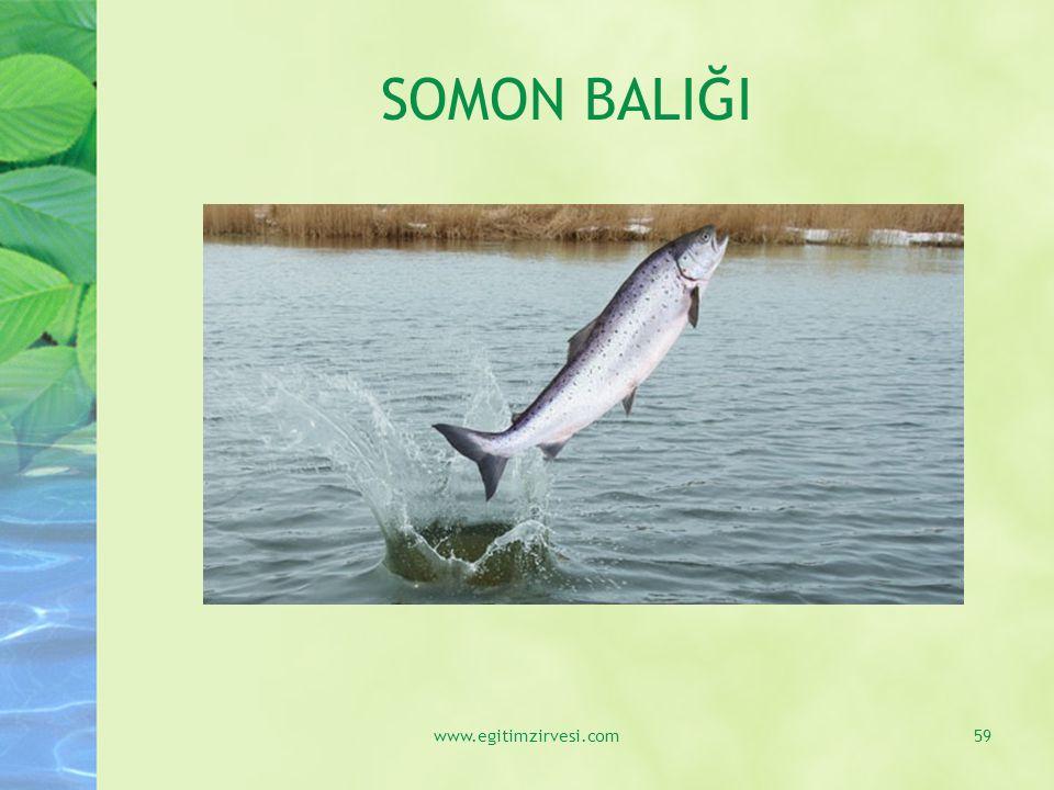 SOMON BALIĞI www.egitimzirvesi.com59