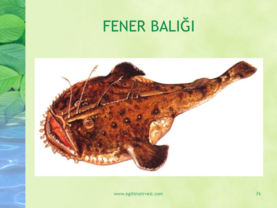 FENER BALIĞI www.egitimzirvesi.com74