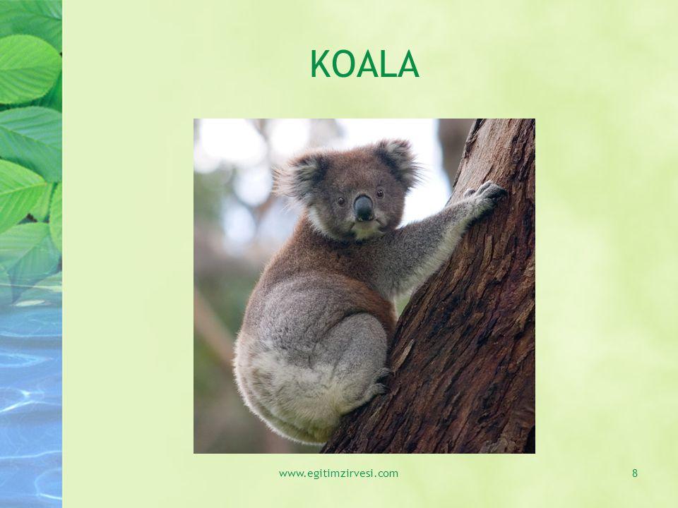 KOALA Okaliptüs ağaçlarında yaşıyorum.Tüylerimin rengi gridir.