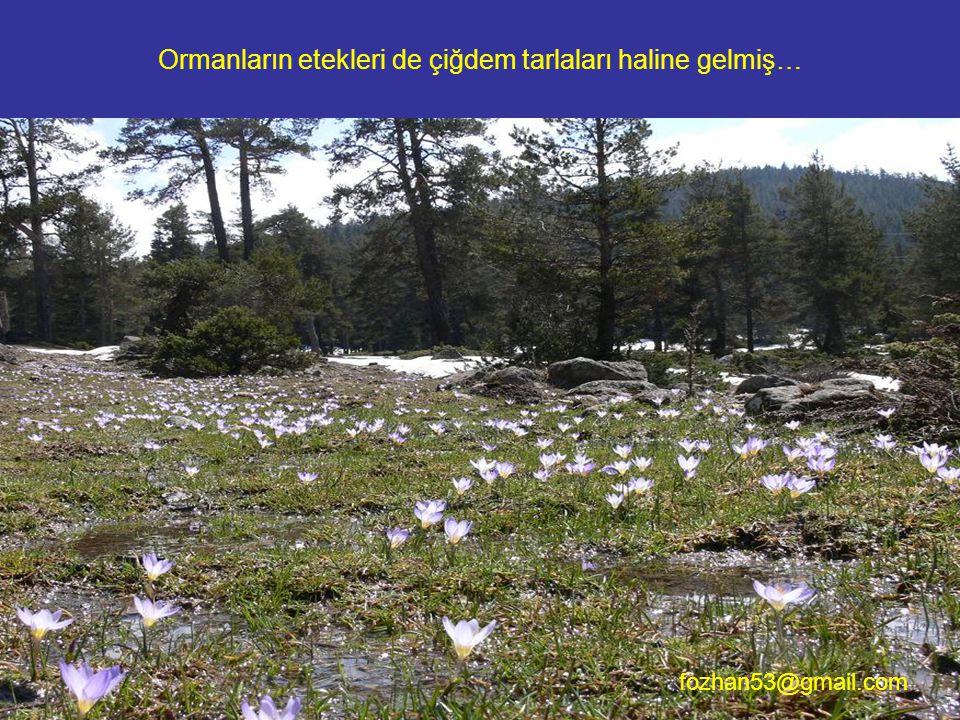 Ormanların etekleri de çiğdem tarlaları haline gelmiş… fozhan53@gmail.com