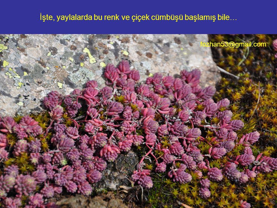 İşte, yaylalarda bu renk ve çiçek cümbüşü başlamış bile… fozhan53@gmail.com