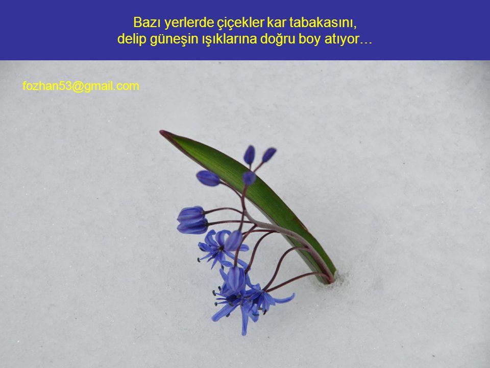 Bazı yerlerde çiçekler kar tabakasını, delip güneşin ışıklarına doğru boy atıyor… fozhan53@gmail.com