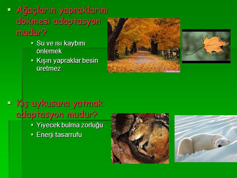  Ağaçların yapraklarını dökmesi adaptasyon mudur?  Su ve ısı kaybını önlemek  Kışın yapraklar besin üretmez  Kış uykusuna yatmak adaptasyon mudur?