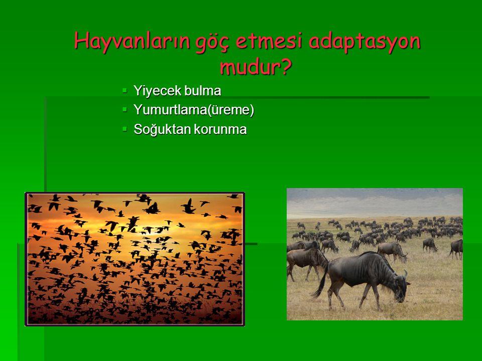 Hayvanların göç etmesi adaptasyon mudur?  Yiyecek bulma  Yumurtlama(üreme)  Soğuktan korunma