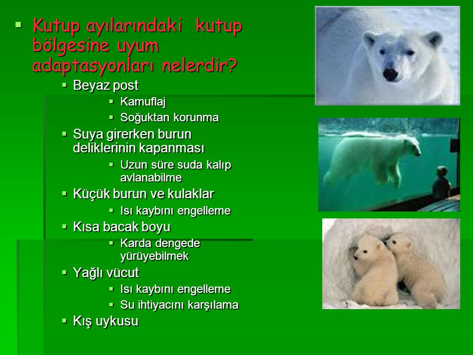  Kutup ayılarındaki kutup bölgesine uyum adaptasyonları nelerdir?  Beyaz post  Kamuflaj  Soğuktan korunma  Suya girerken burun deliklerinin kapan