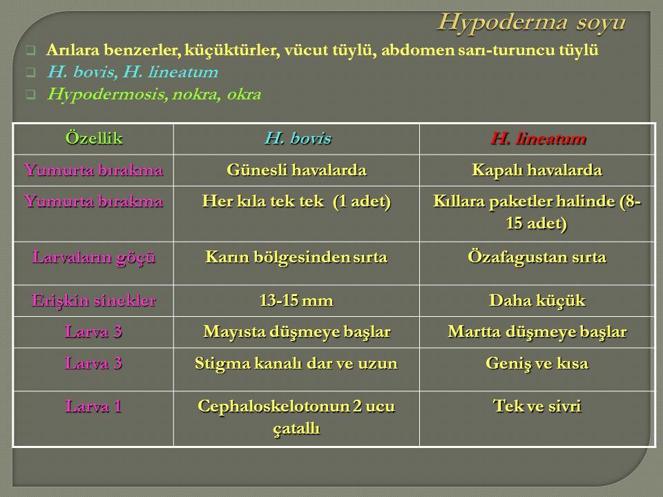  Arılara benzerler, küçüktürler, vücut tüylü, abdomen sarı-turuncu tüylü  H. bovis, H. lineatum  Hypodermosis, nokra, okraÖzellik H. bovis H. linea