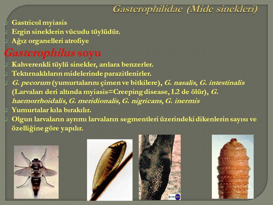  Gastricol myiasis  Ergin sineklerin vücudu tüylüdür.  Ağız organelleri atrofiye Gasterophilus soyu  Kahverenkli tüylü sinekler, arılara benzerler