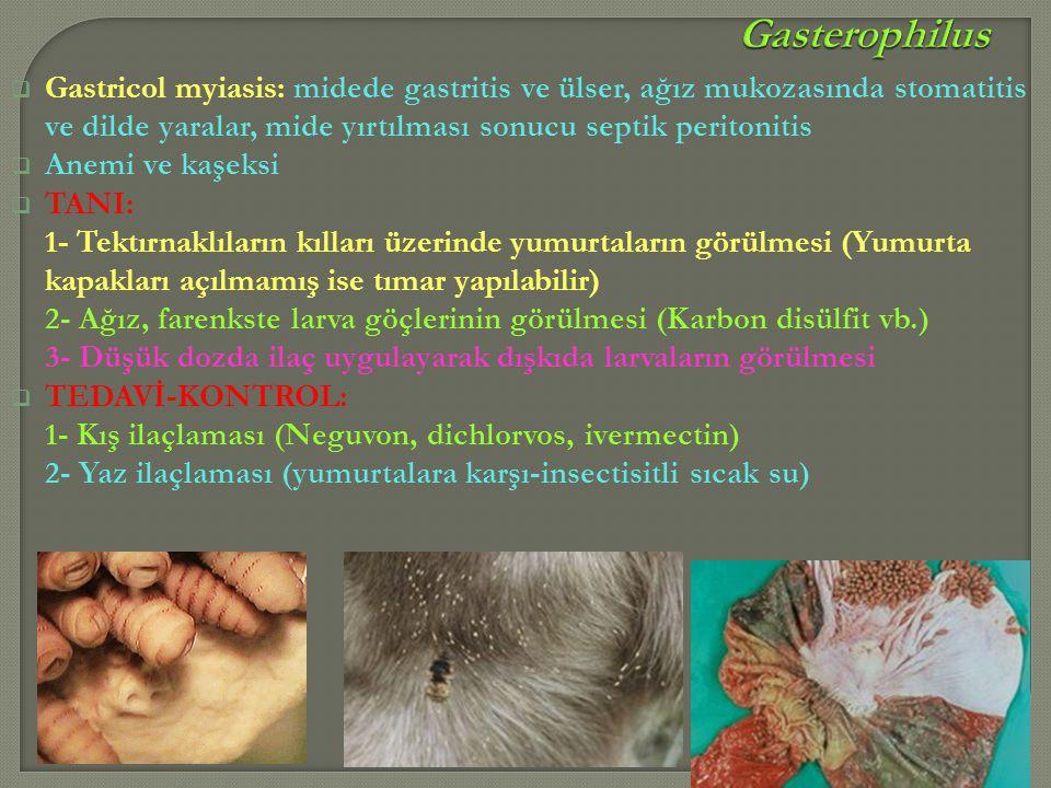  Gastricol myiasis: midede gastritis ve ülser, ağız mukozasında stomatitis ve dilde yaralar, mide yırtılması sonucu septik peritonitis  Anemi ve kaş