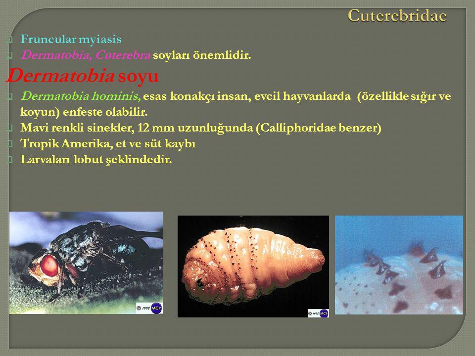  Fruncular myiasis  Dermatobia, Cuterebra soyları önemlidir. Dermatobia soyu  Dermatobia hominis, esas konakçı insan, evcil hayvanlarda (özellikle