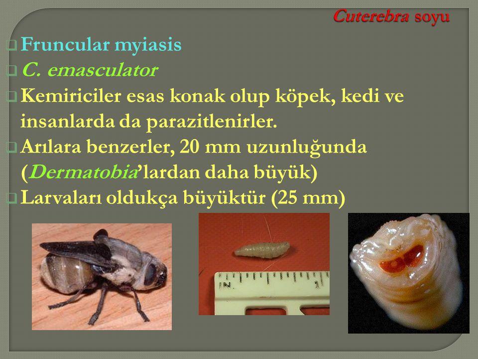  Fruncular myiasis  C. emasculator  Kemiriciler esas konak olup köpek, kedi ve insanlarda da parazitlenirler.  Arılara benzerler, 20 mm uzunluğund