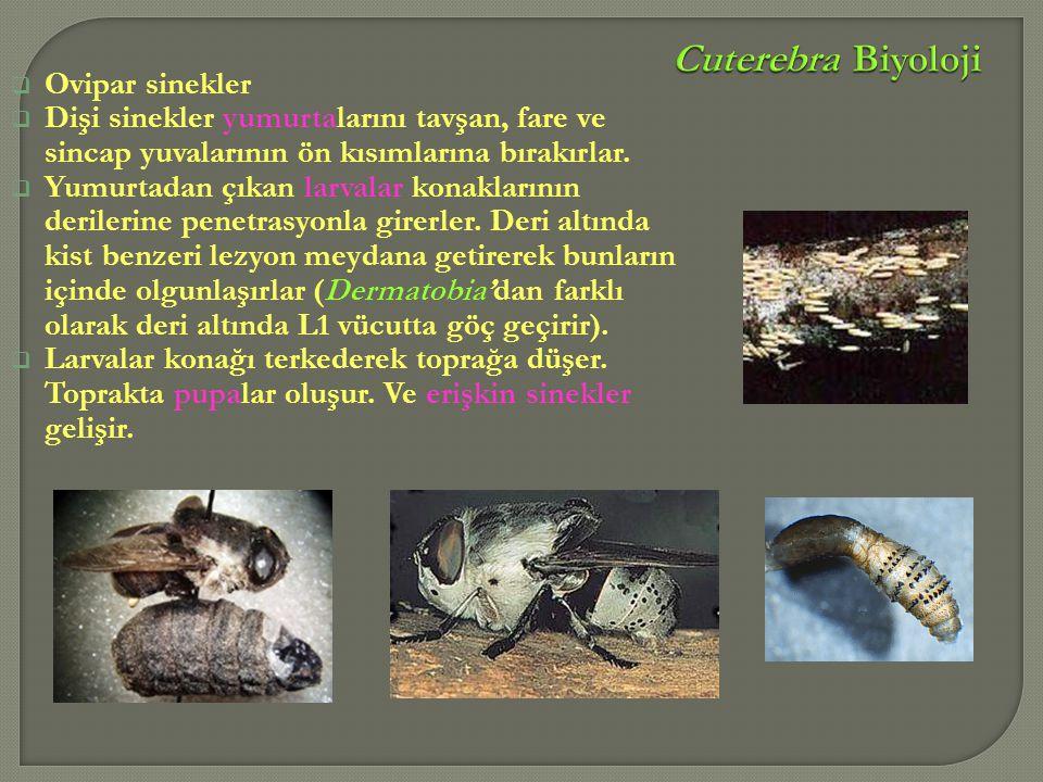 Ovipar sinekler  Dişi sinekler yumurtalarını tavşan, fare ve sincap yuvalarının ön kısımlarına bırakırlar.  Yumurtadan çıkan larvalar konaklarının