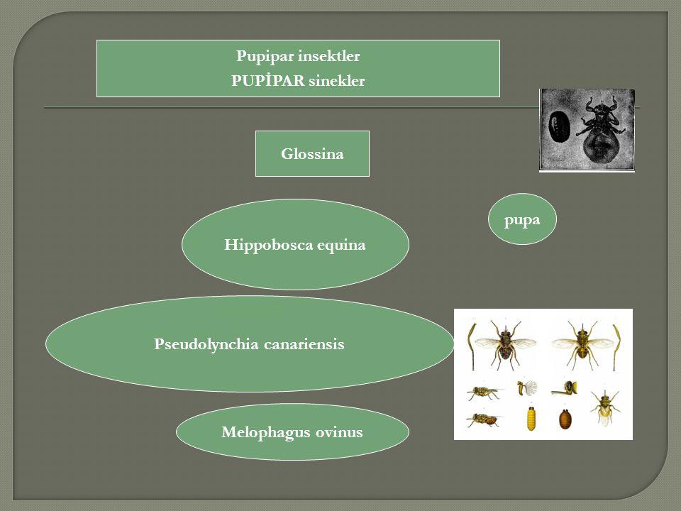 Pupipar insektler PUPİPAR sinekler Hippobosca equina Pseudolynchia canariensis Melophagus ovinus Glossina pupa