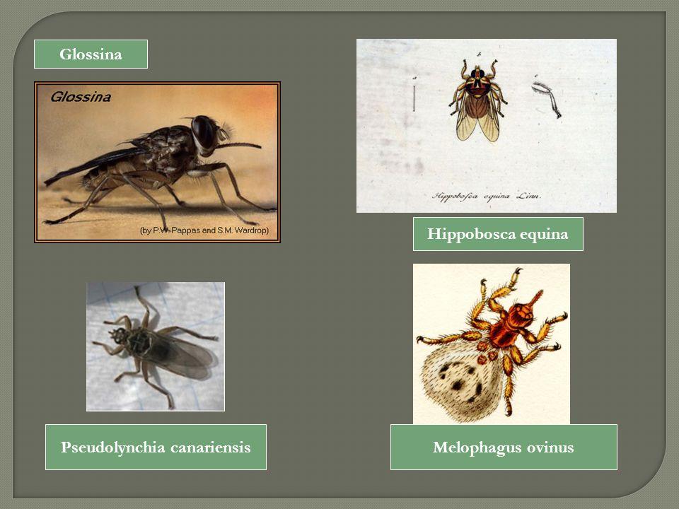 Glossina Hippobosca equina Pseudolynchia canariensisMelophagus ovinus