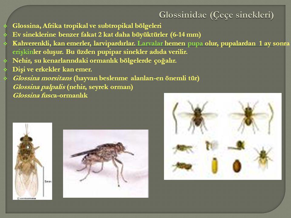  Glossina, Afrika tropikal ve subtropikal bölgeleri  Ev sineklerine benzer fakat 2 kat daha büyüktürler (6-14 mm)  Kahverenkli, kan emerler, larvip