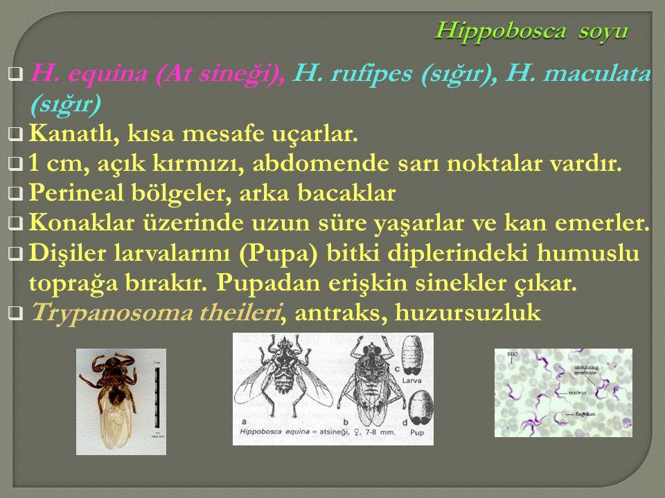  H. equina (At sineği), H. rufipes (sığır), H. maculata (sığır)  Kanatlı, kısa mesafe uçarlar.  1 cm, açık kırmızı, abdomende sarı noktalar vardır.