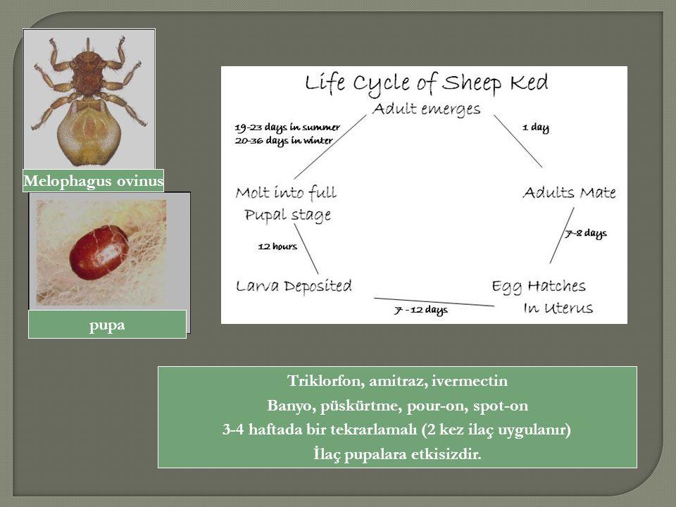 Melophagus ovinus pupa Triklorfon, amitraz, ivermectin Banyo, püskürtme, pour-on, spot-on 3-4 haftada bir tekrarlamalı (2 kez ilaç uygulanır) İlaç pup