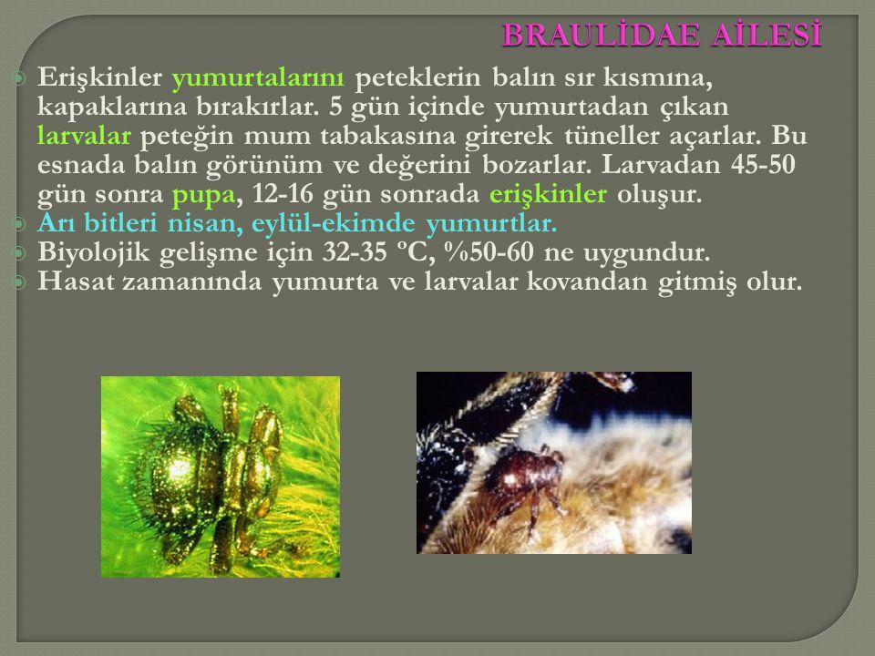  Erişkinler yumurtalarını peteklerin balın sır kısmına, kapaklarına bırakırlar. 5 gün içinde yumurtadan çıkan larvalar peteğin mum tabakasına girerek