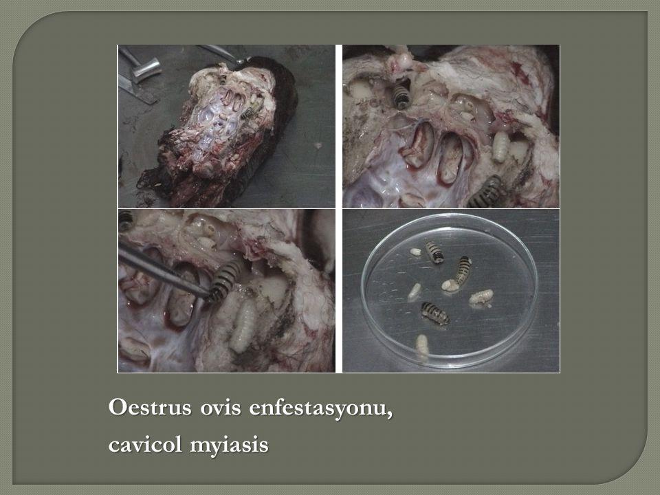 Oestrus ovis enfestasyonu, cavicol myiasis
