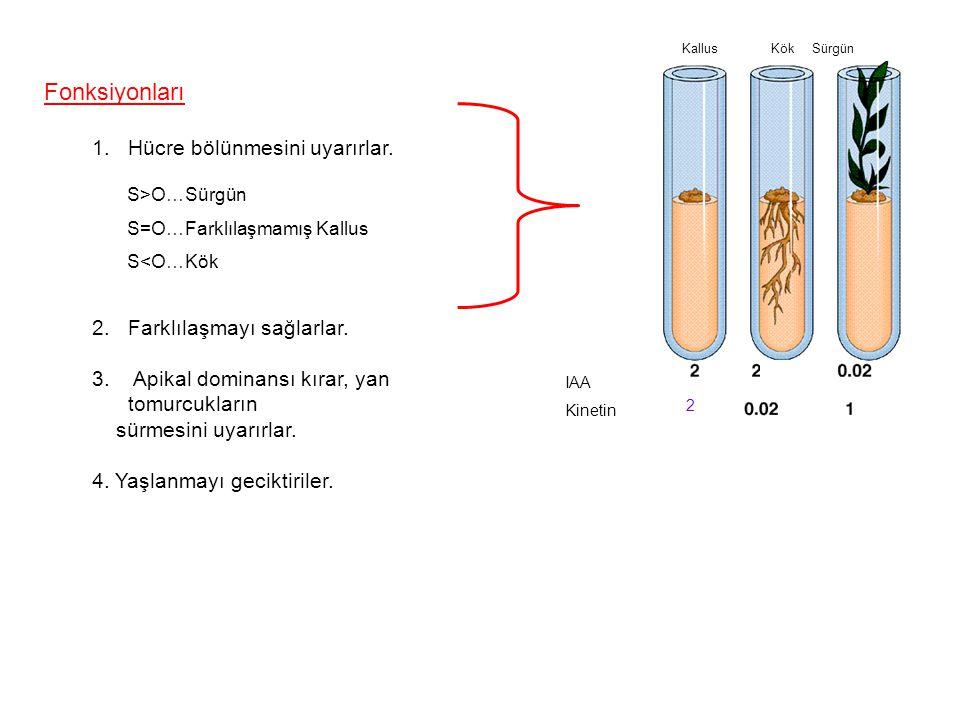 Fonksiyonları 1.Hücre bölünmesini uyarırlar. 2.Farklılaşmayı sağlarlar. 3. Apikal dominansı kırar, yan tomurcukların sürmesini uyarırlar. 4. Yaşlanmay