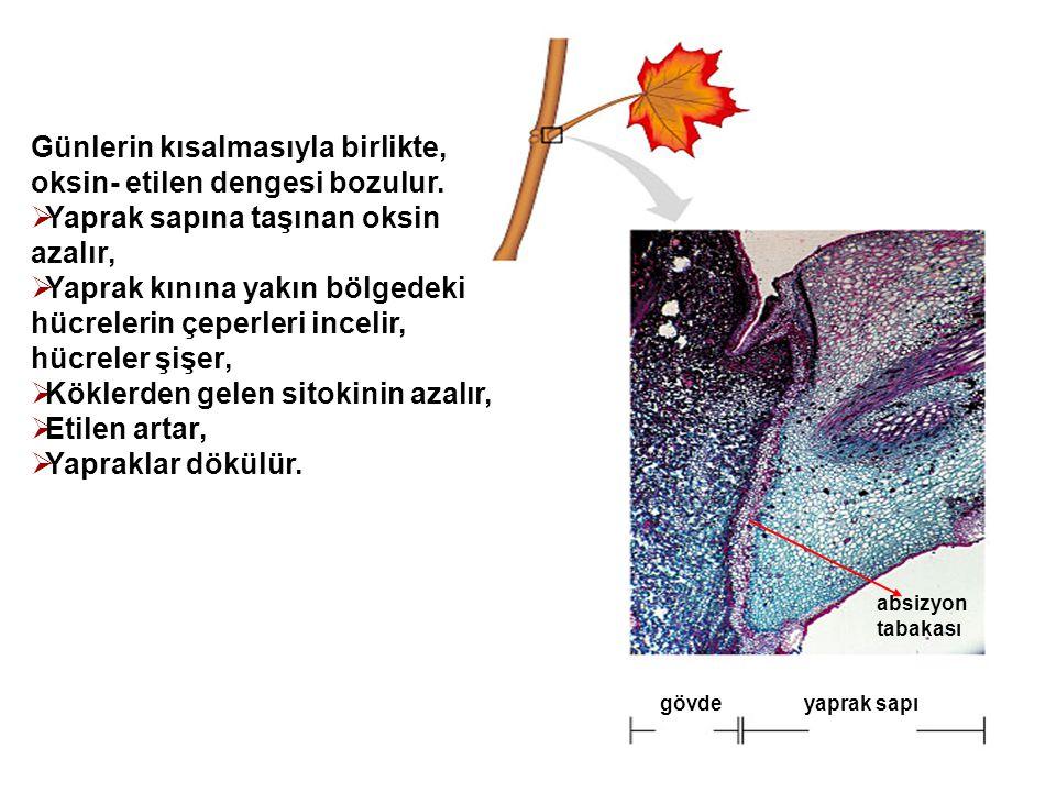 gövdeyaprak sapı absizyon tabakası Günlerin kısalmasıyla birlikte, oksin- etilen dengesi bozulur.  Yaprak sapına taşınan oksin azalır,  Yaprak kının