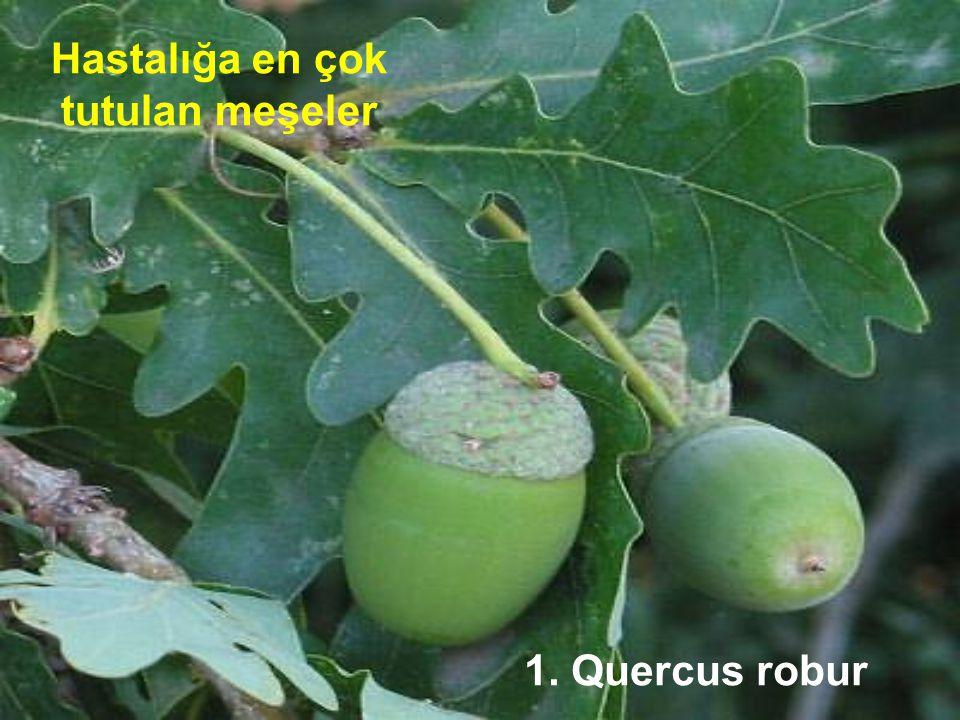 Hastalığa en çok tutulan meşeler 1. Quercus robur