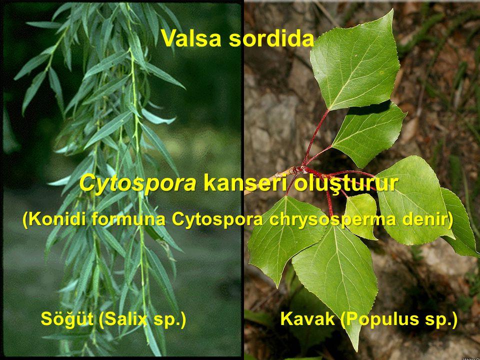 Valsa sordida Söğüt (Salix sp.) Kavak (Populus sp.) Cytospora kanseri oluşturur (Konidi formuna Cytospora chrysosperma denir)