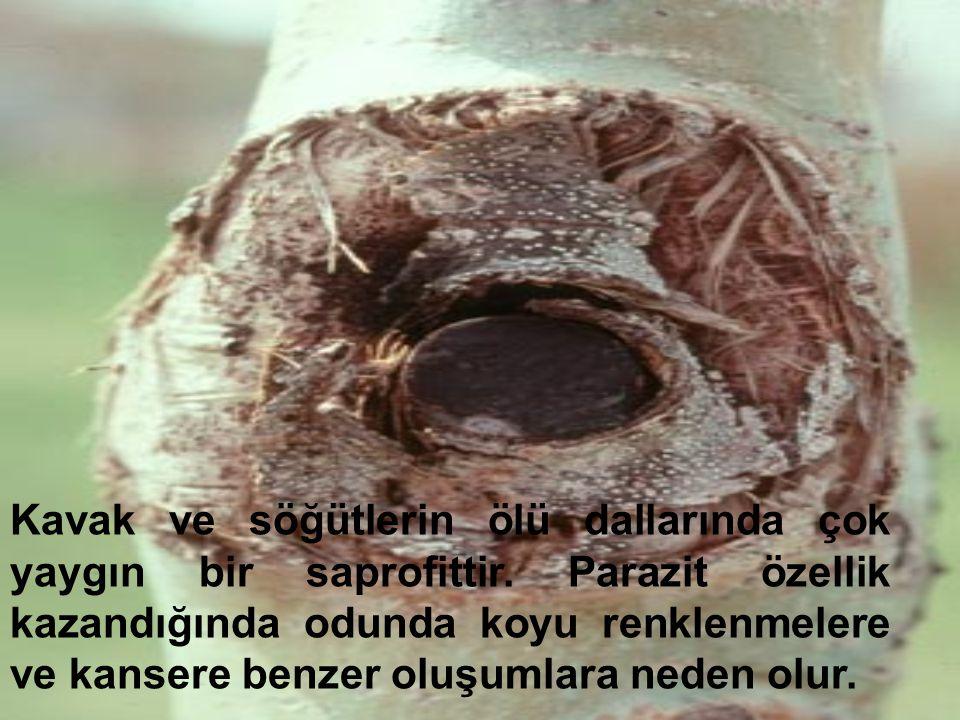 Kavak ve söğütlerin ölü dallarında çok yaygın bir saprofittir. Parazit özellik kazandığında odunda koyu renklenmelere ve kansere benzer oluşumlara ned