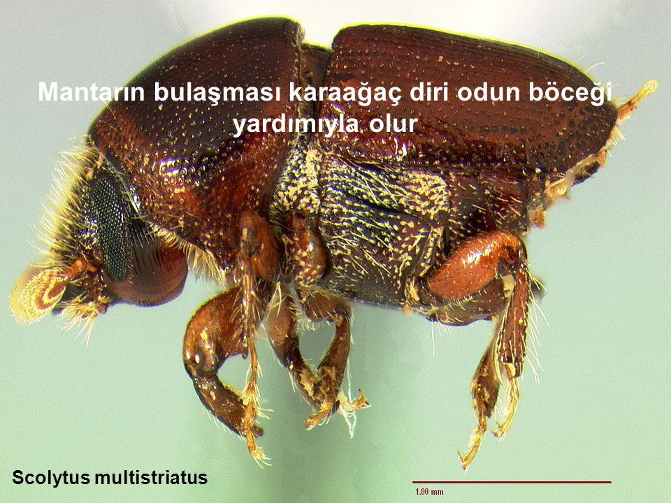 Mantarın bulaşması karaağaç diri odun böceği yardımıyla olur Scolytus multistriatus